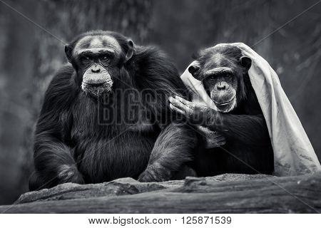 Chimpanzee Pair Iv