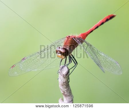 White-faced Meadowhawk Vi