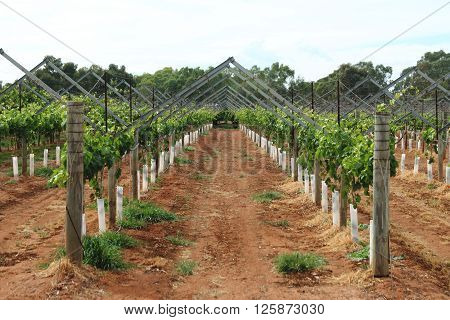 Grapevine cultivation in the countryside of Western Australia