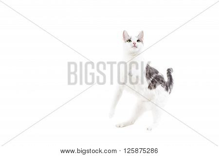 Playful White and Gray Cat on White