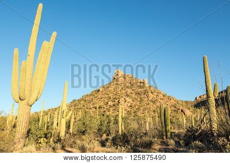 Cacti dot the hills of Tucson's Saguaro National Park