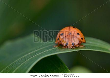 Lady Bug aka Lady Bird found on a leaf