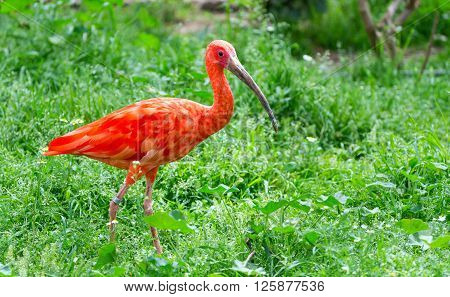 Scarlet ibis (Eudocimus ruber), South American bird