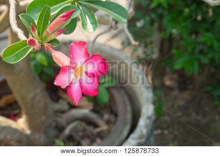 Red Azalea flowers, red flower background and wallpaper