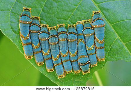 Caterpillar Brotherhood in a raw on a green leaf