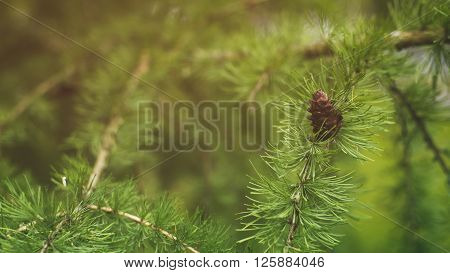 larch tree with cones in summer day, vintage toned