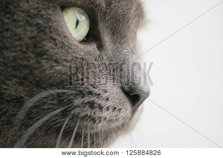 gray cat portrait close up photo, shallow focus