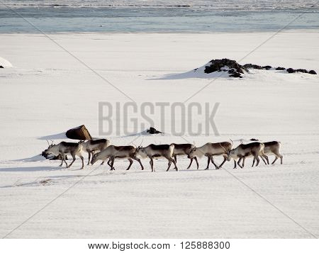 Icelandic deer are getting together in the winter ** Note: Soft Focus at 100%, best at smaller sizes