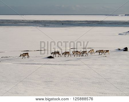 Icelandic deer are crossing the snow field ** Note: Soft Focus at 100%, best at smaller sizes