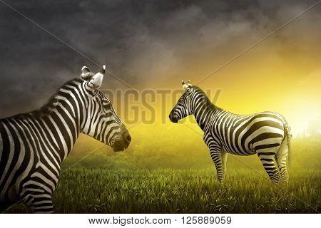 Two Zebra On The Grassland