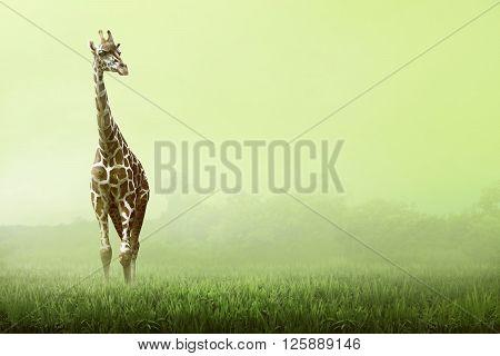 Girrafe Standing On The Grassland