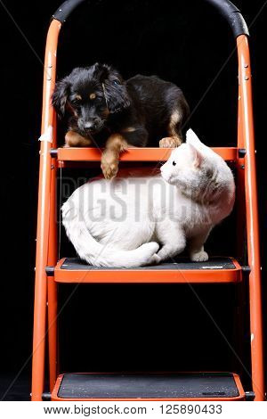 Pure white cat staring from below on a cute little puppy laying on a folding ladder
