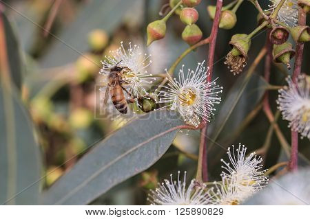 Bees Are Collecting Eucalyptus Nectar (honey).