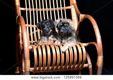 Pair of cute little cubs casually relaxing in a rattan rocking wooden chair
