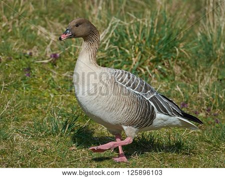 Pink-footed goose (Anser brachyrhynchus) walking on the ground in its habitat