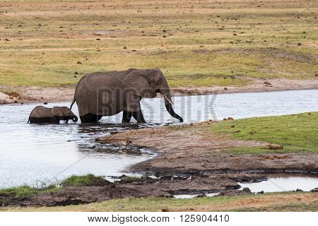 Adult And Baby Elephant Cross River