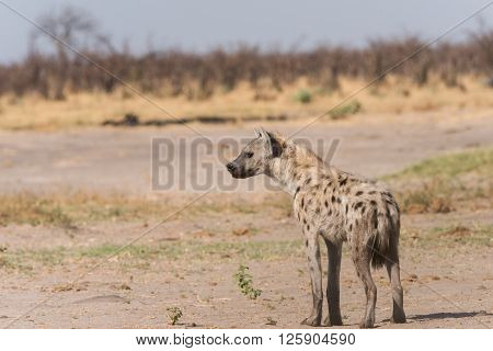 Young Spotted Hyena Profile