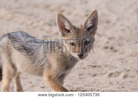 Single Jackal Pup Portrait