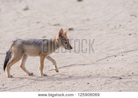 Single Jackal Pup Profile