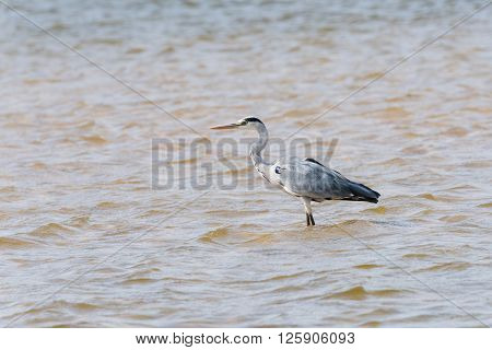 Gray Heron In River