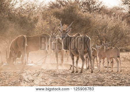 Eland Family At Waterhole