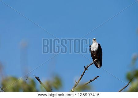 Fish Eagle Perched