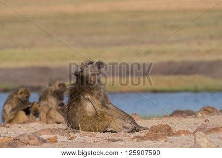 Basking Baboon