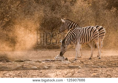 Zebra Waterhole Sunrise