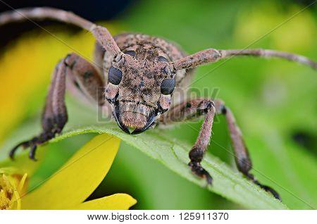 a beautiful Longhorn Beetle resting on a green leaf