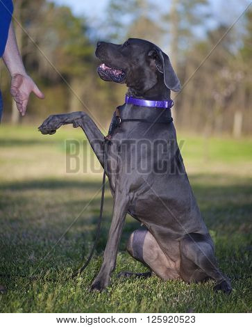 Purebred Great Dane about to shake a hand