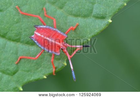 Red shield bug nymph on a green leaf