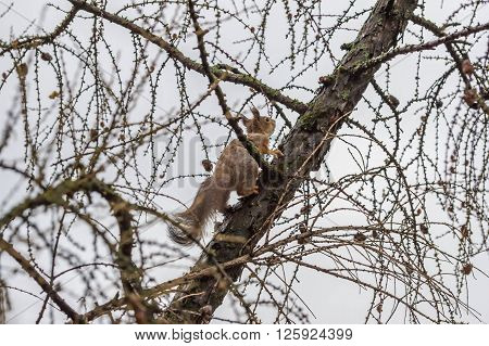 Little Cute Squirrel On Larch Tree In The Spring In City