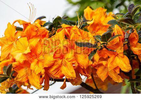Japanese Azalea - Orange Beauty in a garden