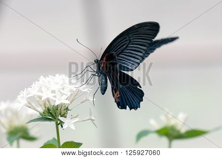 A macro shot of a butterfly (Scarlet mormon male) on a flower