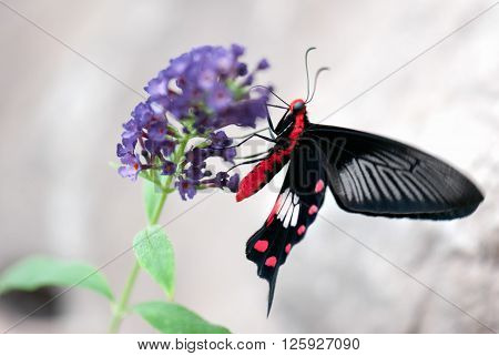 A macro shot of a butterfly (Scarlet mormon female) on a flower