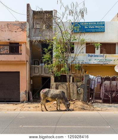 AGRA INDIA - 26TH MARCH 2016: A cow crazing at the side of a road in Agra during the day. Buildings can be seen.