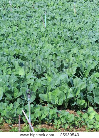 Green Leaf Vegetable Chinese broccoli Chinese kale or Kai-lan in the farm in Thailand