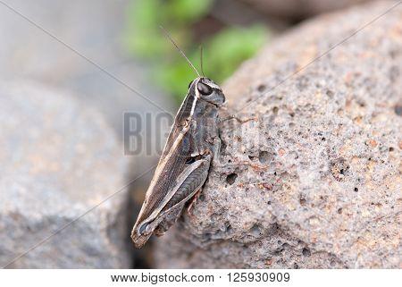 A macro shot of a grasshopper on a rock