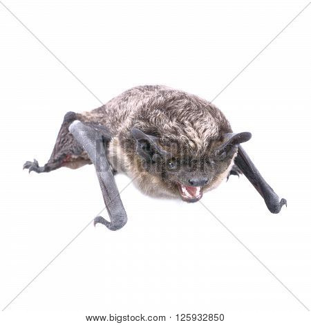 Angry bat isolated on a white background