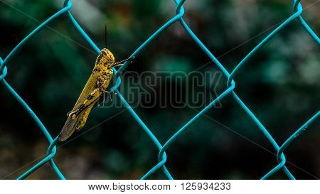 a yellow grasshopper on a blue fence