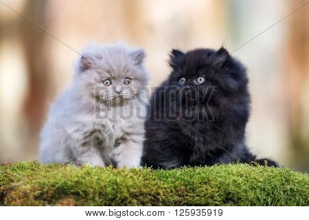 two british longhair kittens posing outdoors together