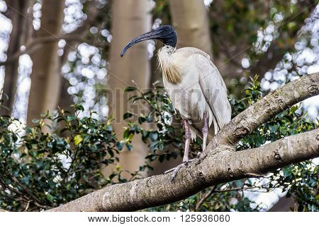 Ibis is sitting on a tree in Sydney park (Threskiornithidae Bird) in Sydney Australia.