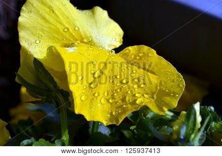 Yellow Primrose With Drops Of Water