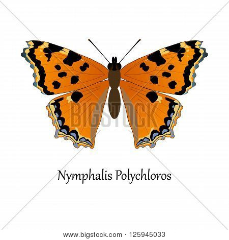 Illustration of European Swallowtail Butterfly - Nymphalis Polychloros.