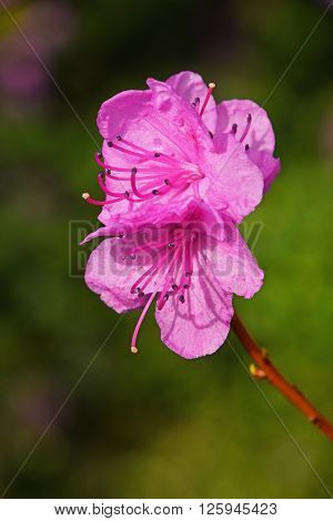 Purple azalea rhododendron flower close up over background of green leaves and pink flowers