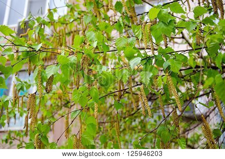 Birch tree buds in spring in city