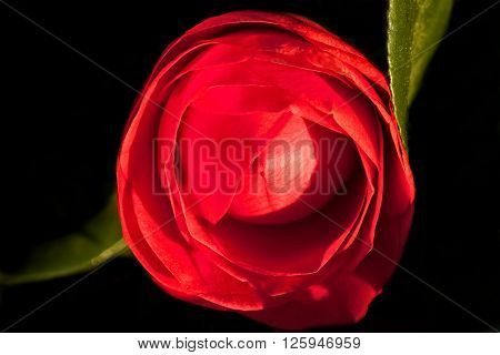 Single red camellia flower against a dark background