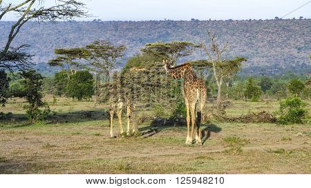 Giraffe in Masai Mara National Park Kenia