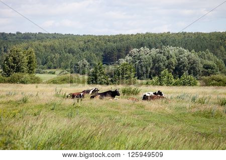 Cows on a summer pasture lying in the meadow