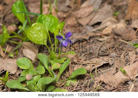 Wild viola flower among dry leaves in spring forest